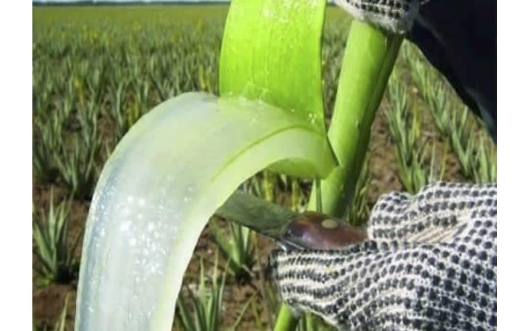 L'Aloe vera: l'ami de vos intestins