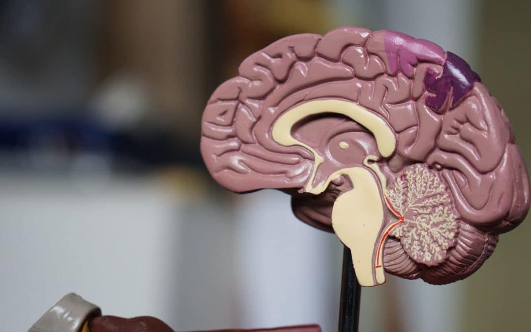Coupe du cerveau, vue d'un hémisphère et du cervelet-Marie Duval sophrologie